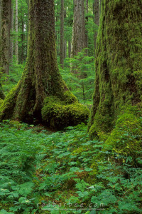 Old growth forest, Sol Duc trail, Olympic National Park, WA