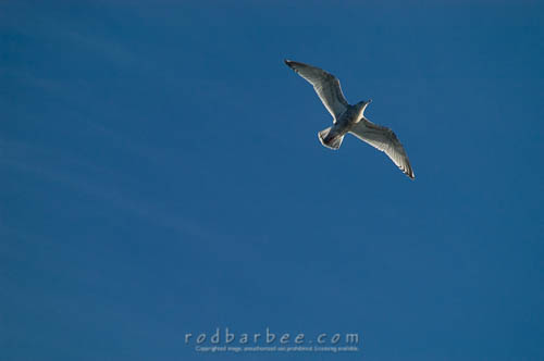 Seagull in flight from deck of ferry