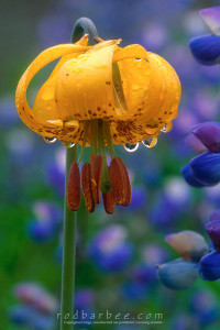 Tiger lily with dew drops, Olympic National Park