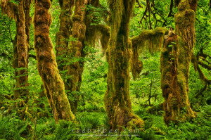 Maple grove, Hall of Mosses Trail, Hoh rainforest, Olympic National Park, WA