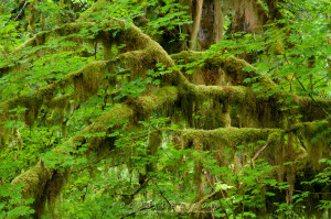 Moss covered vine maple, Hall of Mosses Trail, Hoh rainforest, Olympic National Park, WA