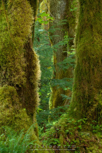 Trees along the Hall of Mosses trail in the Hoh rainforest, Olympic National Park, WA