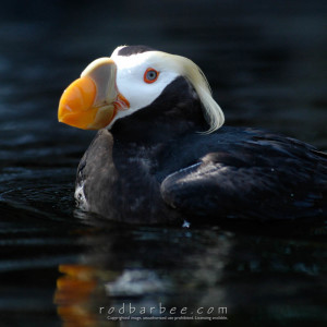 Tufted Puffin at the Oregon Coast Aquarium.