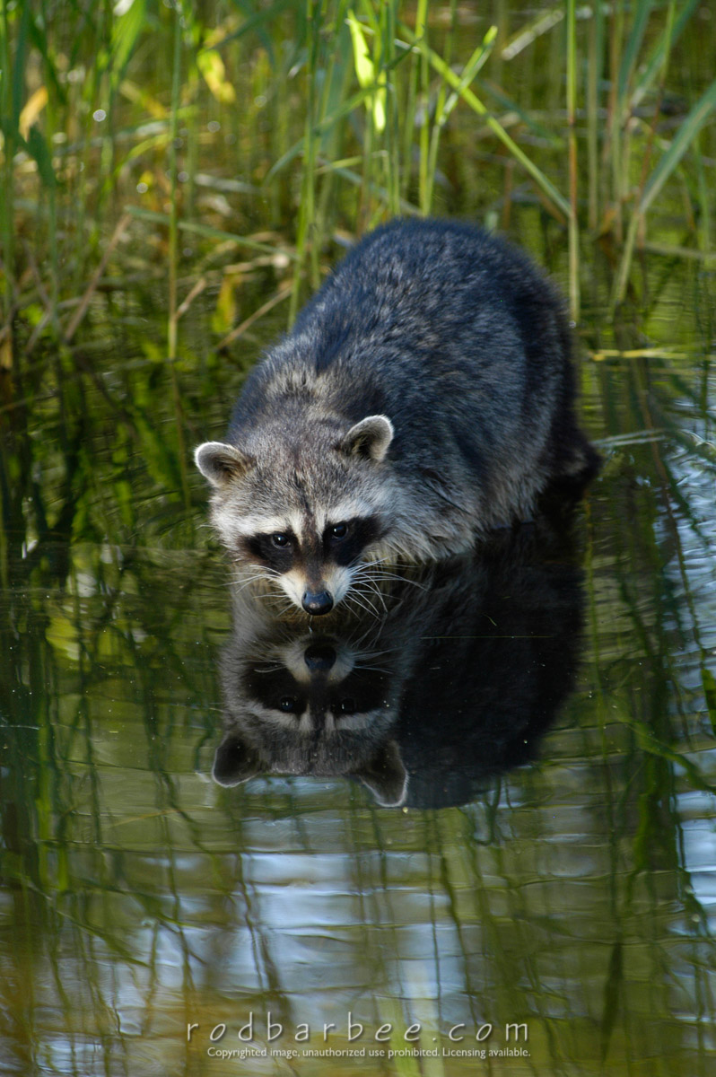 "Barbee_030607_1_2101 |  Raccoon in water. Triple ""D"" game farm  controlled conditions"