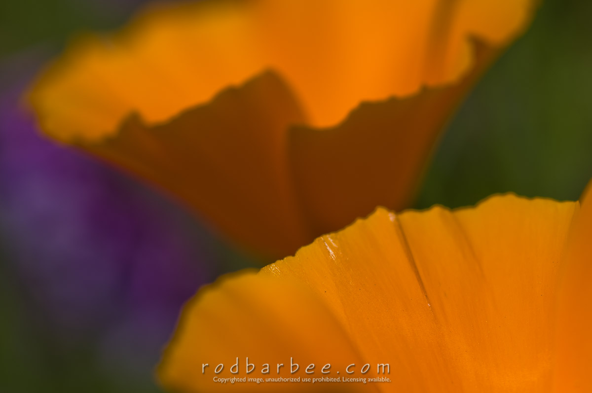 Barbee_080516_3_5455    California Poppies close up