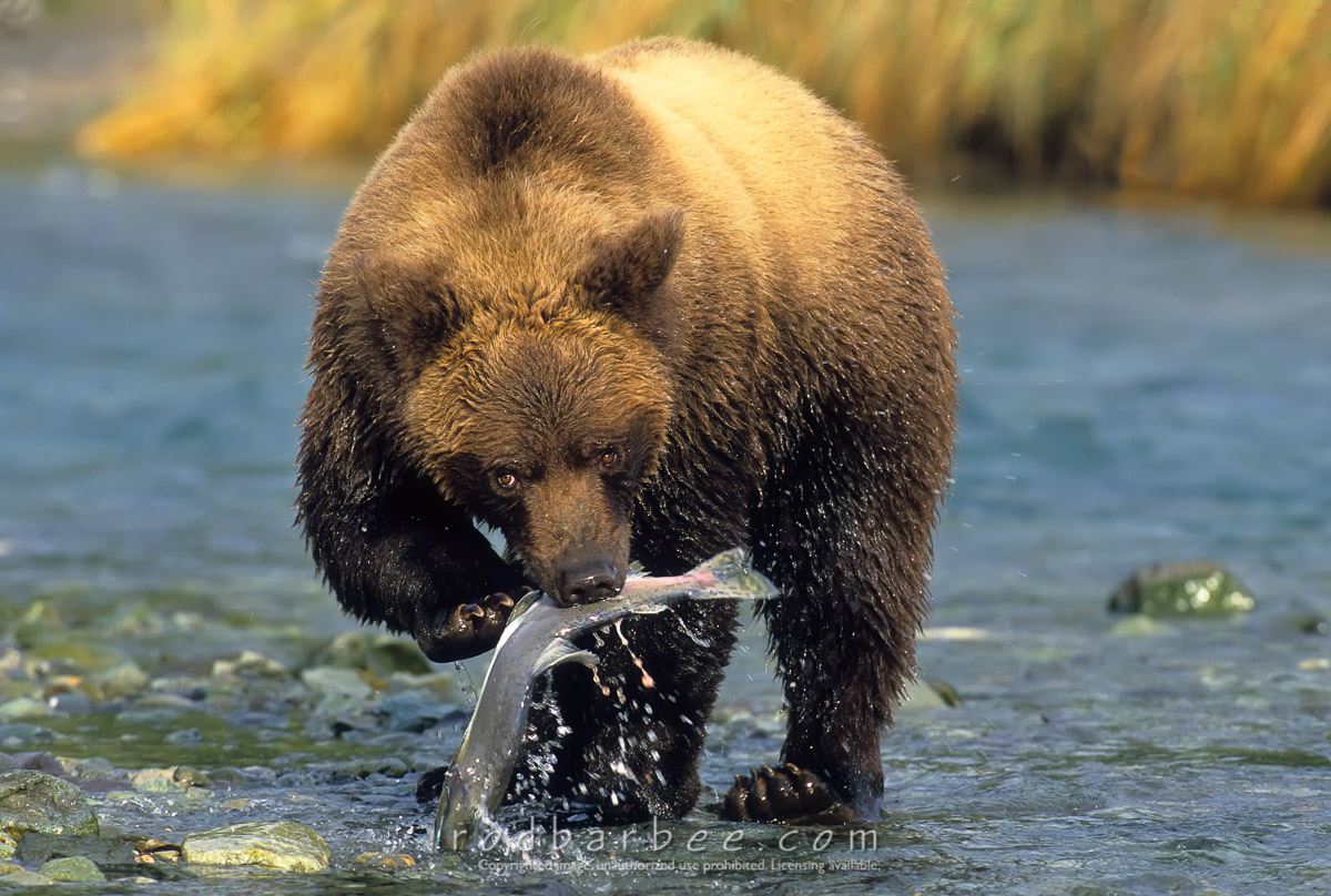 Barbee_11465 |  Alaska Brown Bear hunting salmon in small stream, early September. Geographic Harbor, Katmai National Park, AK